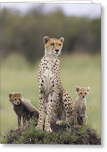 Cheetah Mother And Cubs Maasai Mara Greeting Card by Suzi Eszterhas