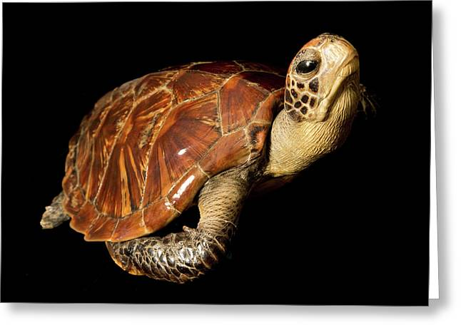 Chelonia Mydas Greeting Card