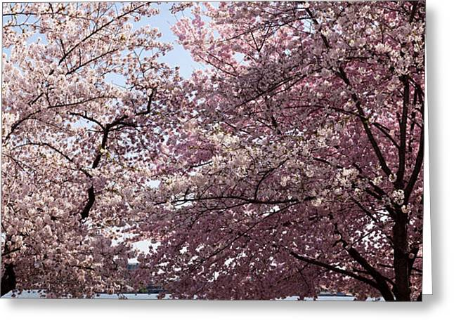 Cherry Blossom Trees In Bloom Greeting Card by Panoramic Images