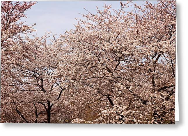 Cherry Blossom Trees In Potomac Park Greeting Card by Panoramic Images