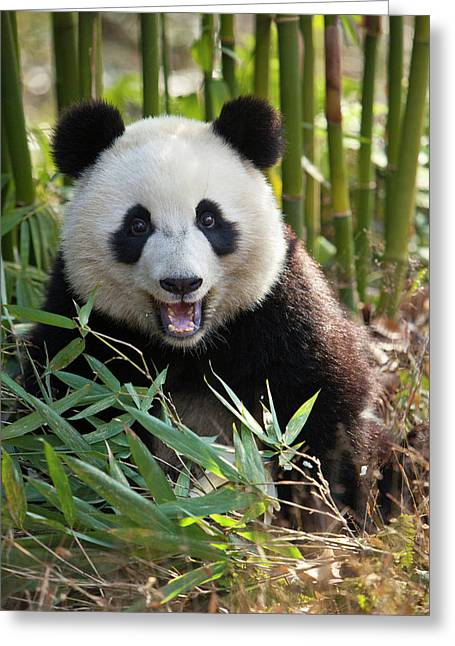 China, Chengdu, Chengdu Panda Base Greeting Card