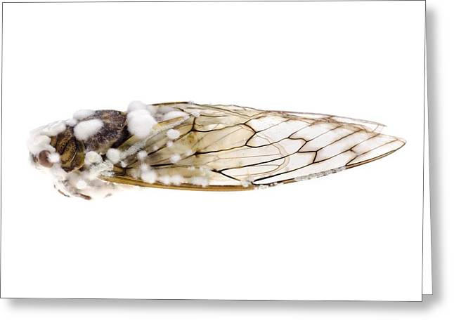 Cicada Infected With Fungus Greeting Card by Science Photo Library