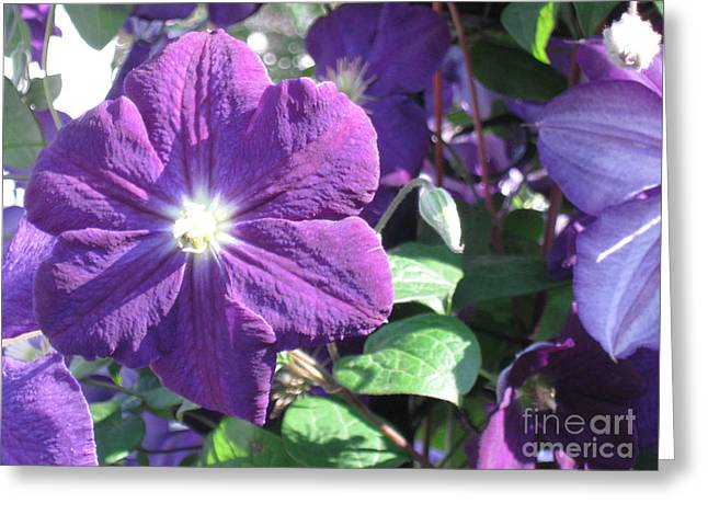 Clematis With Blazing Center Greeting Card