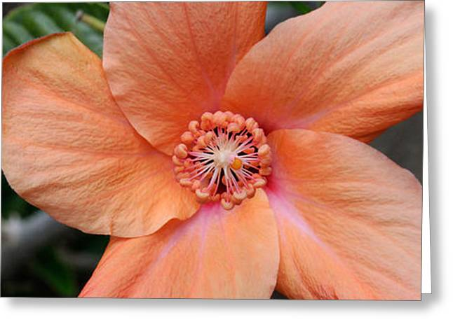 Close-up Of A Hibiscus Flower, Pinole Greeting Card by Panoramic Images