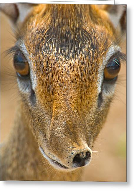 Close-up Of A Kirks Dik-dik, Tarangire Greeting Card
