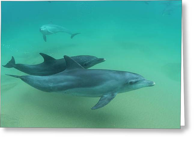 Close-up Of Two Bottle-nosed Dolphins Greeting Card by Panoramic Images