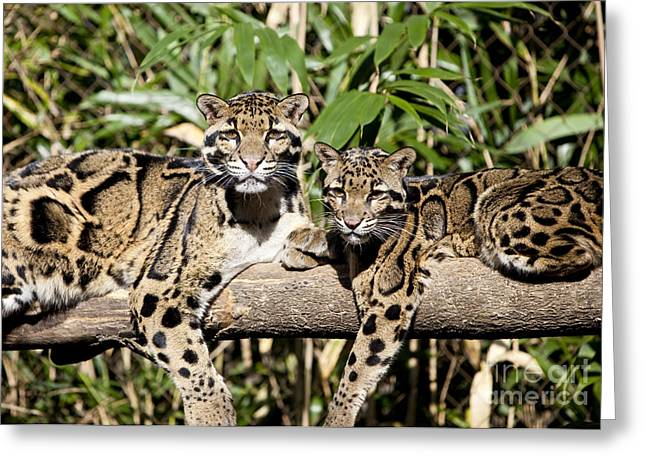 Clouded Leopards Greeting Card