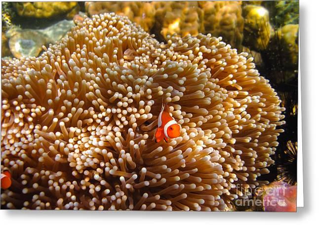 Clownfish In Coral Garden Greeting Card by Fototrav Print
