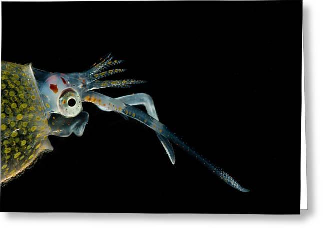 Cockatoo Squid Cranchia Scabra Greeting Card by Dant� Fenolio