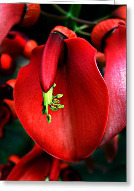 Greeting Card featuring the photograph Cockspur Coral Tree by William Tanneberger