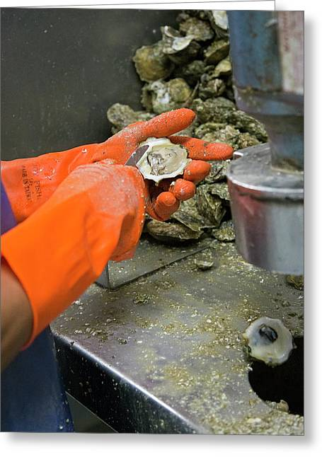 Commercial Oyster Processing Greeting Card by Jim West