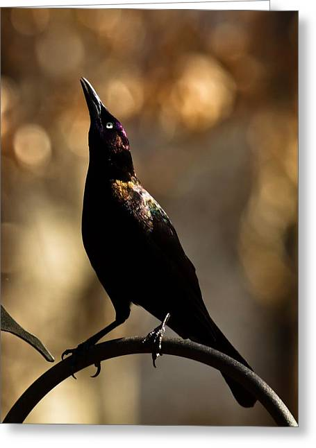 Greeting Card featuring the photograph Common Grackle by Robert L Jackson