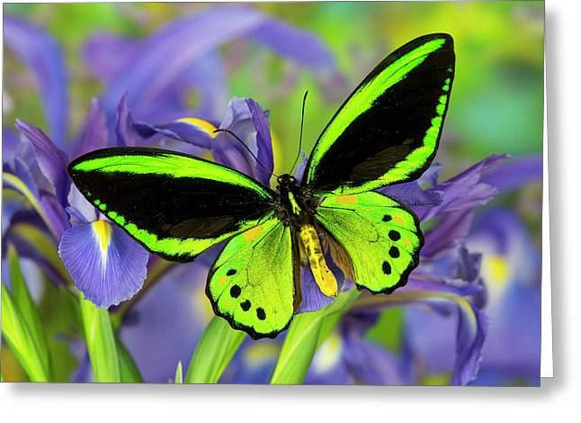 Common Green Birdwing Or The Priams Greeting Card