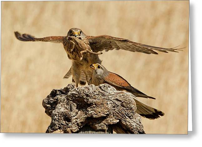 Common Kestrel (falco Tinnunculus) Greeting Card by Photostock-israel