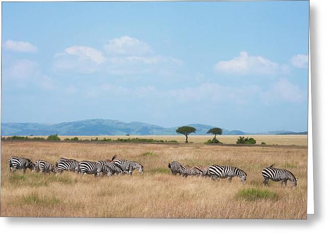 Common Zebra (equus Quagga Greeting Card by Keren Su