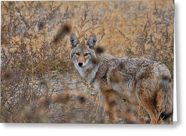 Greeting Card featuring the photograph Coyote Eyes by David Armstrong