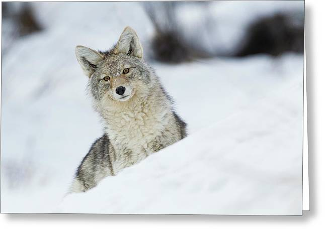 Coyote In Winter Greeting Card