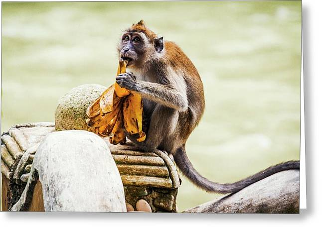 Crab-eating Macaque Greeting Card by Paul Williams