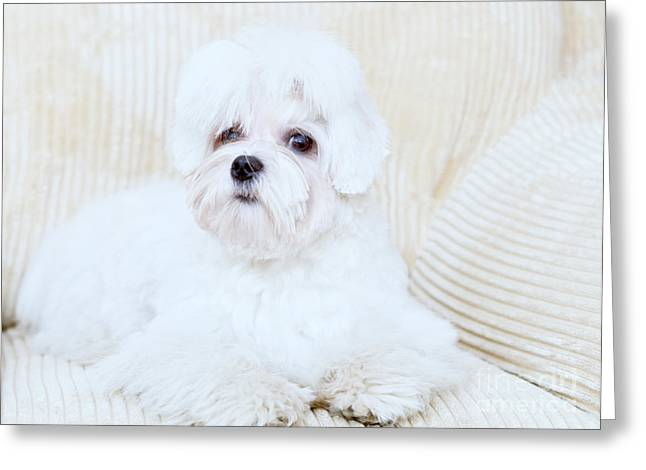 Cute Maltese Greeting Card by Monika Wisniewska