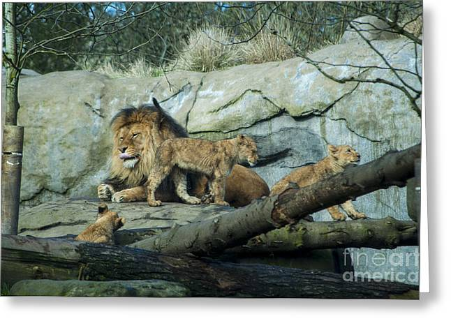 Dad And Lion Cubs Greeting Card by Mandy Judson