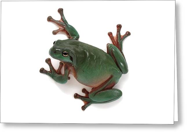 Dainty Green Tree Frog Greeting Card by Science Photo Library