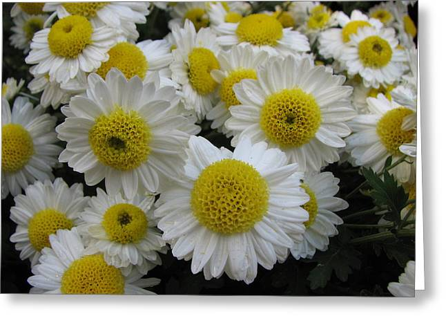 Daisy Like Flowers 1 Greeting Card
