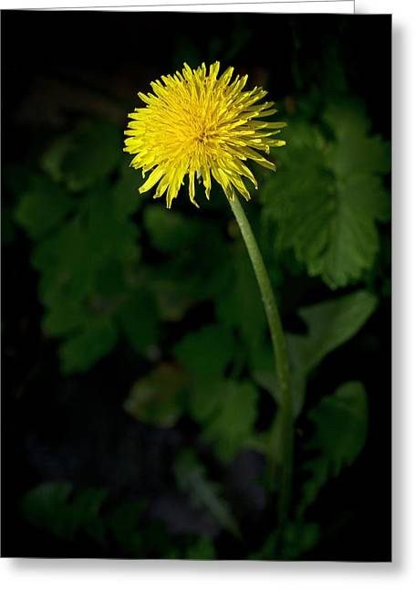 Dandelion Greeting Card by Chevy Fleet