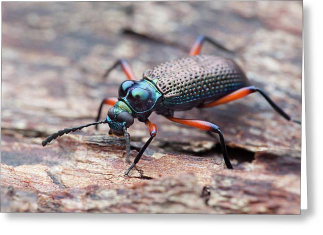 Darkling Beetle Greeting Card by Melvyn Yeo