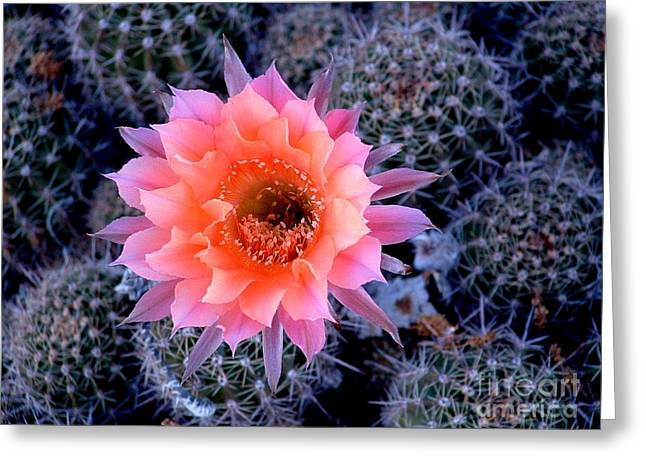 Desert Beauty Greeting Card by Marilyn Smith