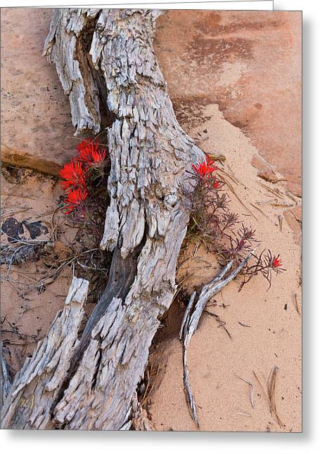 Desert Indian Paintbrush Flowers Greeting Card by Chuck Haney