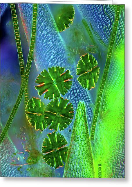 Desmids On Sphagnum Moss Greeting Card by Marek Mis