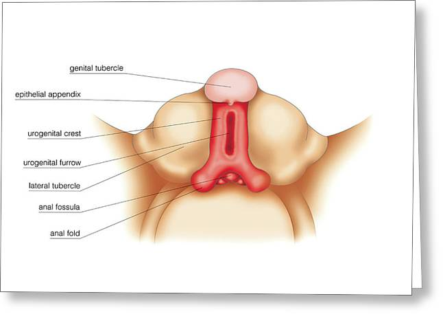 Development Of External Genitalia Greeting Card
