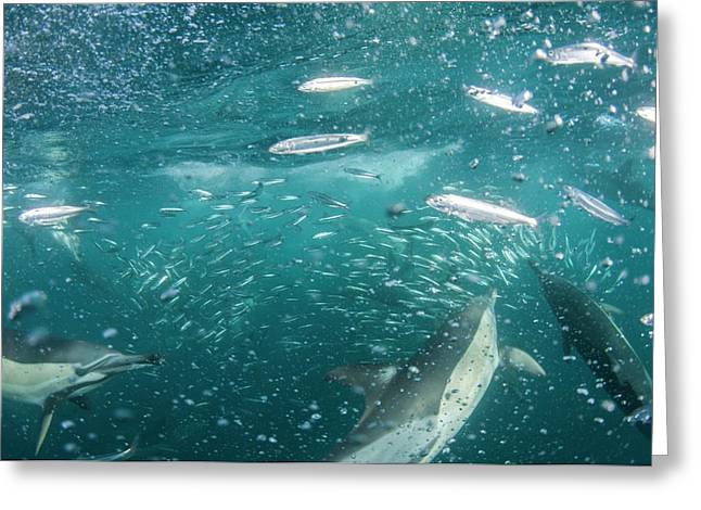 Dolphins Hunting Sardines Greeting Card