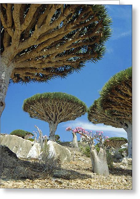 Dragons Blood Trees Greeting Card by Diccon Alexander