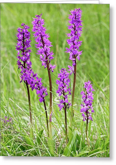 Early-purple Orchid (orchis Mascula) Greeting Card by Bob Gibbons