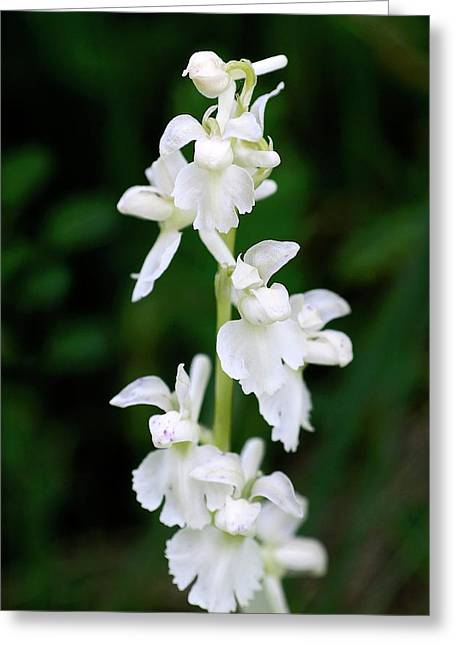 Early Purple Orchid (orchis Mascula) Greeting Card by Colin Varndell