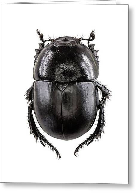 Earth-boring Dung Beetle Greeting Card by F. Martinez Clavel
