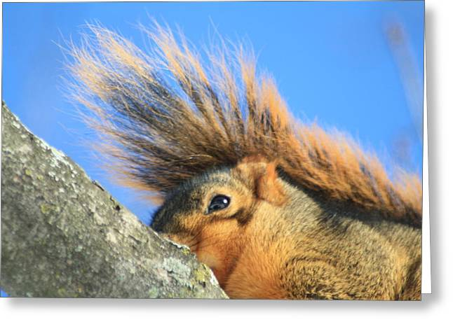 Eastern Fox Squirrel Greeting Card by Dennis Pintoski