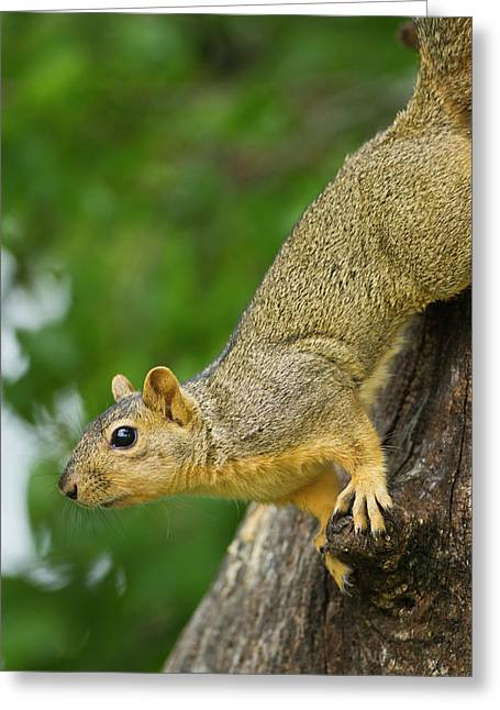 Eastern Fox Squirrel (sciurus Niger Greeting Card by Larry Ditto