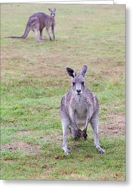 Eastern Grey Kangaroos Grazing Greeting Card