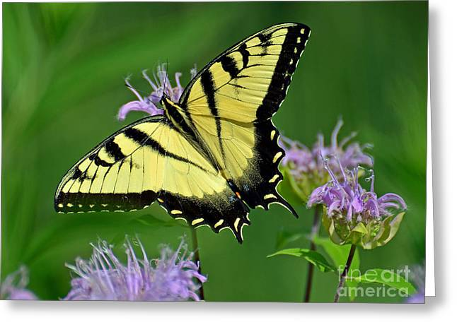 Eastern Tiger Swallowtail Greeting Card by Rodney Campbell