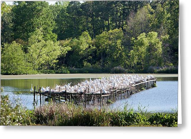 Egrets Nesting Greeting Card by Jim West