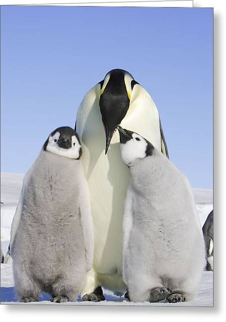 Emperor Penguin And Chicks Greeting Card