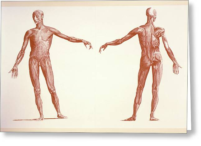 Engraving Of Human Skeletal Muscles Greeting Card by Sheila Terry/science Photo Library