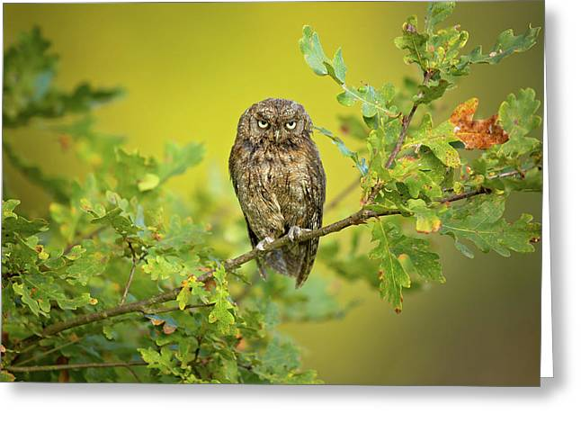 Eurasian Scops Owl Greeting Card by Milan Zygmunt