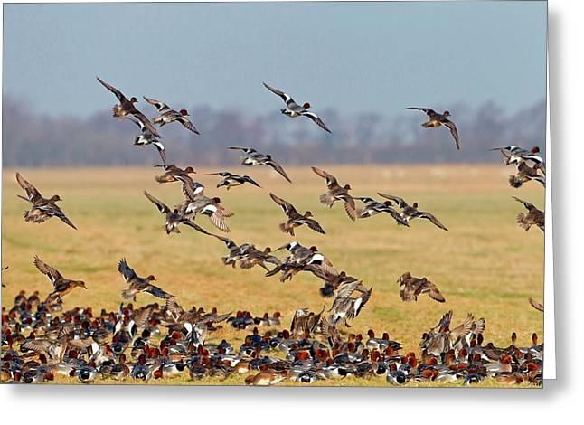 Eurasian Wigeons Greeting Card by Bildagentur-online/mcphoto-schaef