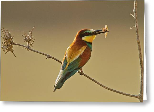 European Bee-eater (merops Apiaster) Greeting Card by Photostock-israel