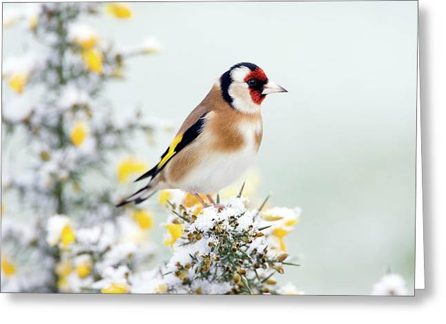 European Goldfinch Greeting Card by John Devries/science Photo Library