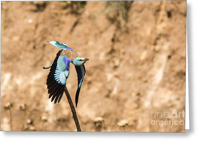 European Roller Coracias Garrulus Greeting Card by Eyal Bartov