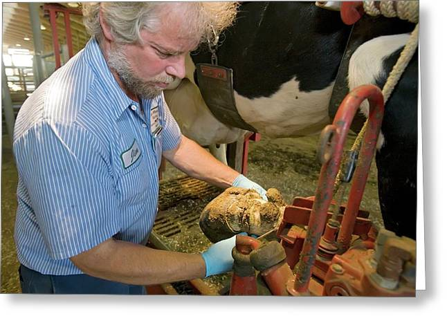 Farmer Checking A Cow's Hoof Greeting Card by Jim West